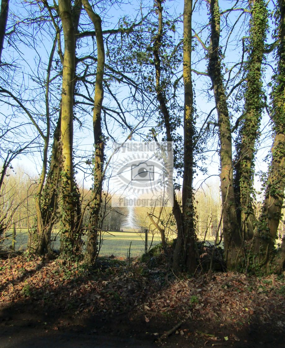 """""""Tall standing trees in Cotswolds"""" stock image"""