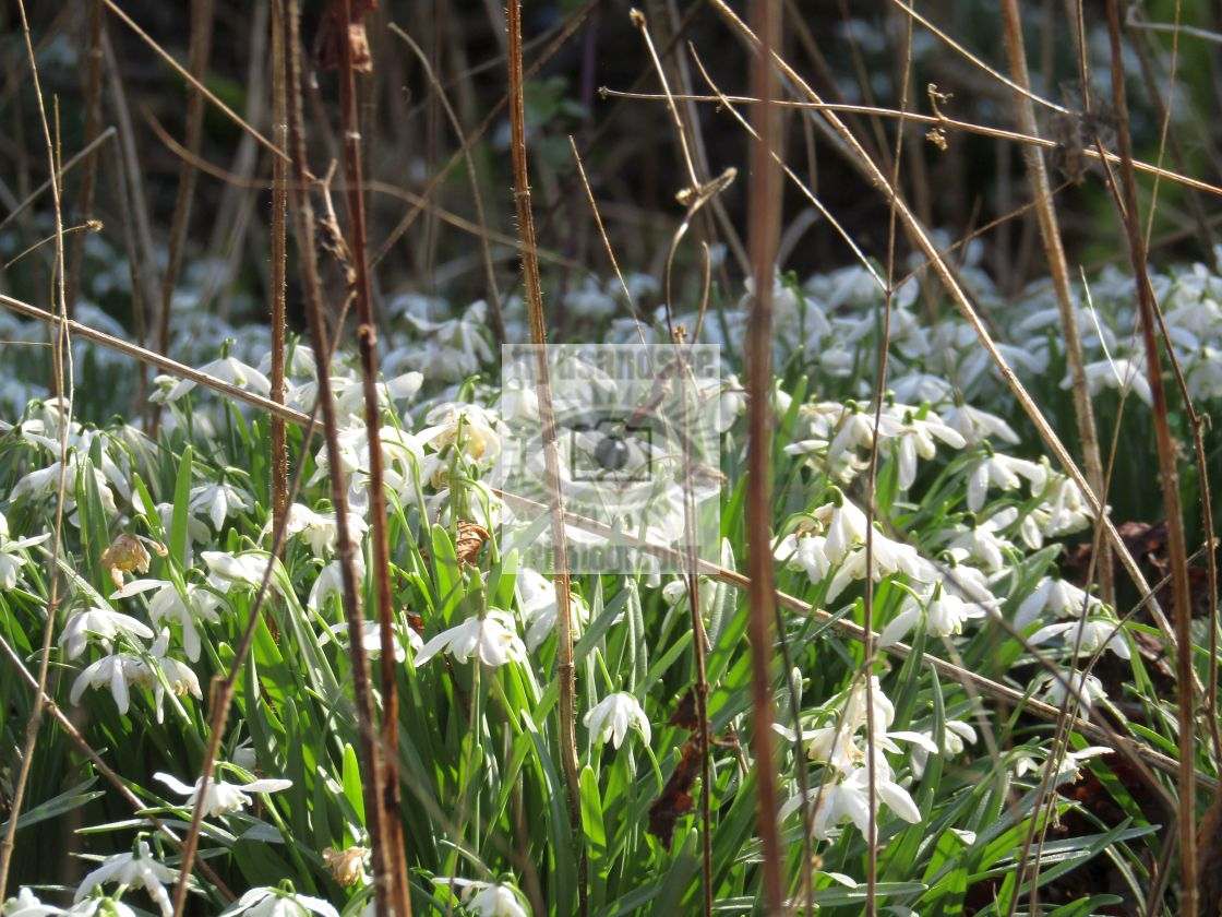 """""""Snowdrops in February!"""" stock image"""