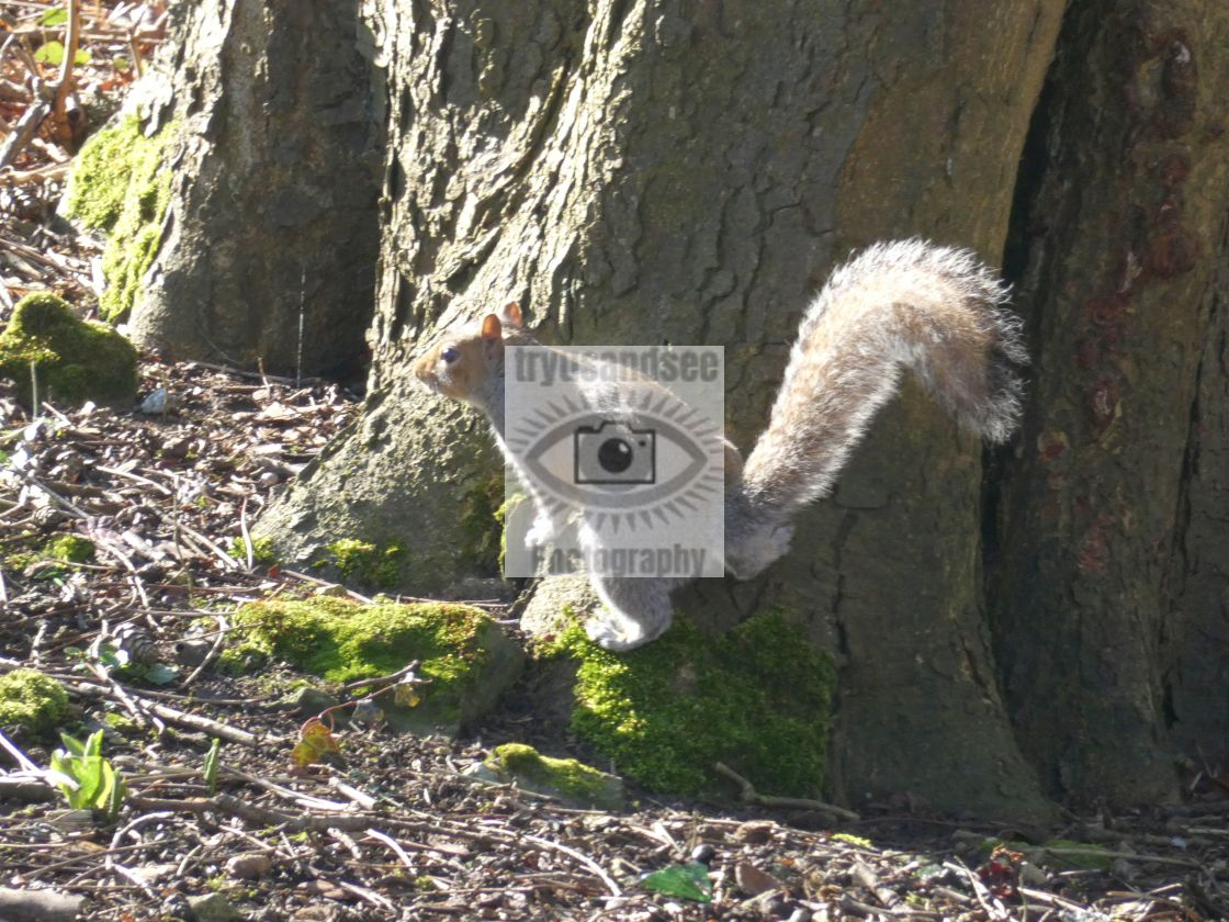 """""""Squirrel in forest"""" stock image"""