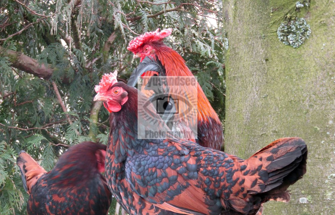 """""""Chickens at tree rest"""" stock image"""