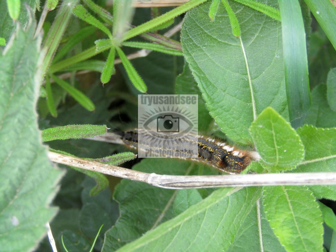 """""""Caterpillar in camouflage"""" stock image"""