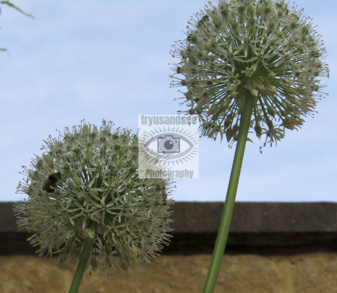 """""""White Aliums in bloom with bee"""" stock image"""