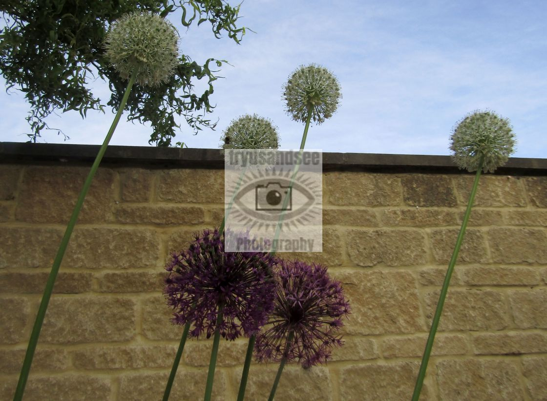 """""""White and purple Aliums in bloom wavering in the wind"""" stock image"""
