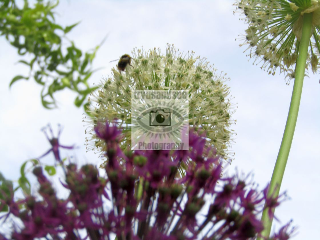 """""""White and purple Aliums in bloom with bee"""" stock image"""