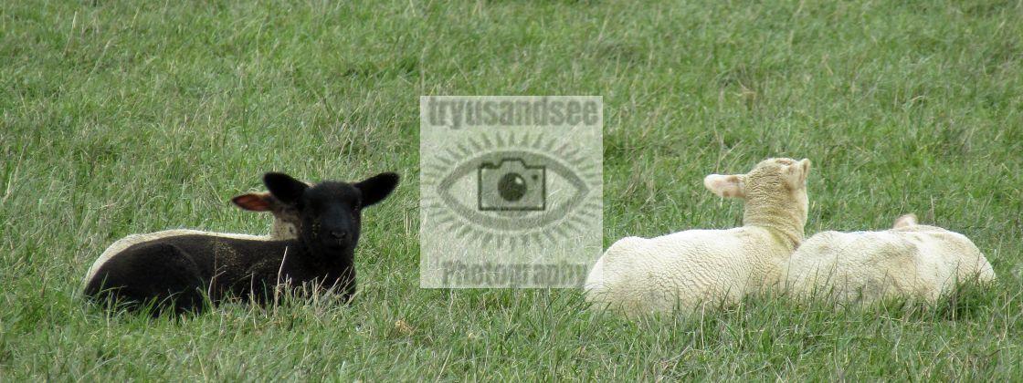 """""""Cotswold lamb season"""" stock image"""