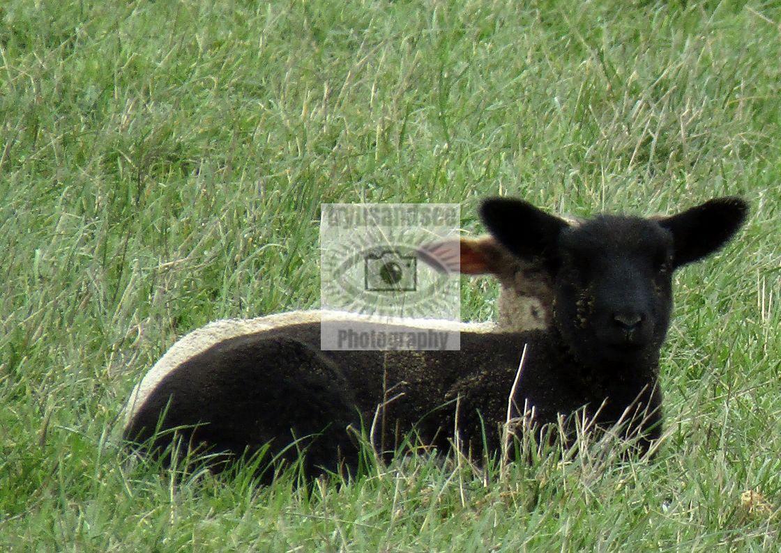 """""""3 eared black & white lamb?"""" stock image"""