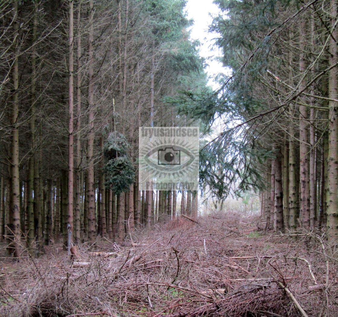 """cotswold birch tree avenue"" stock image"