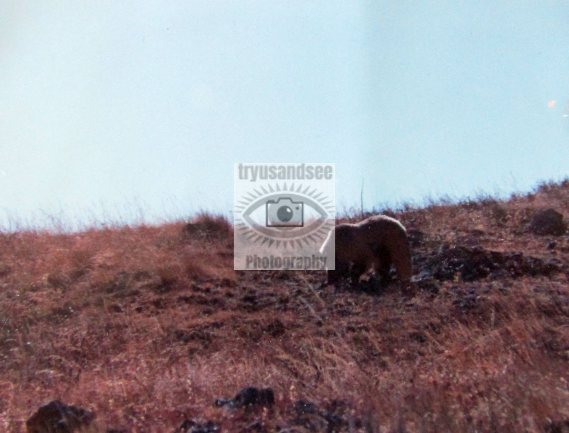 """""""Grizzly in Yellowstone"""" stock image"""