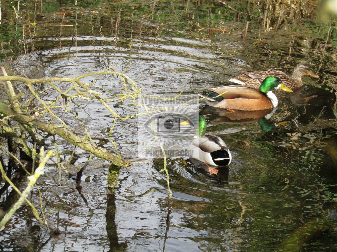 """Ducks in a stream"" stock image"