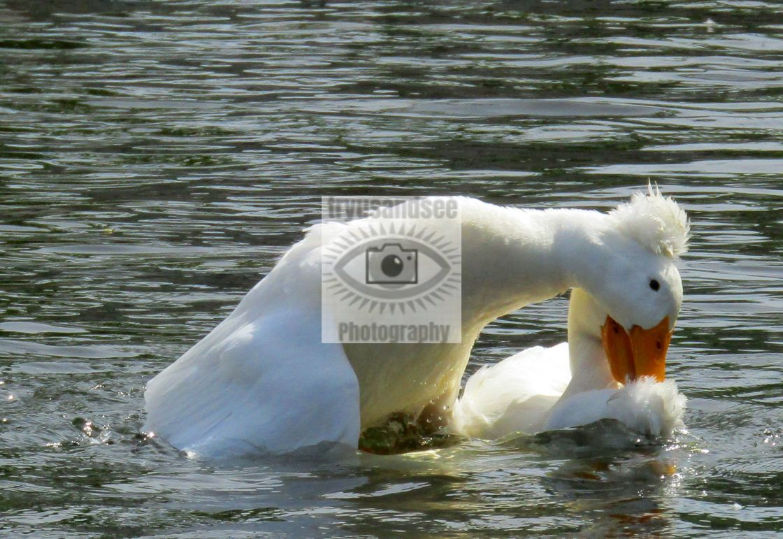 """""""3 fighting white crested ducks"""" stock image"""