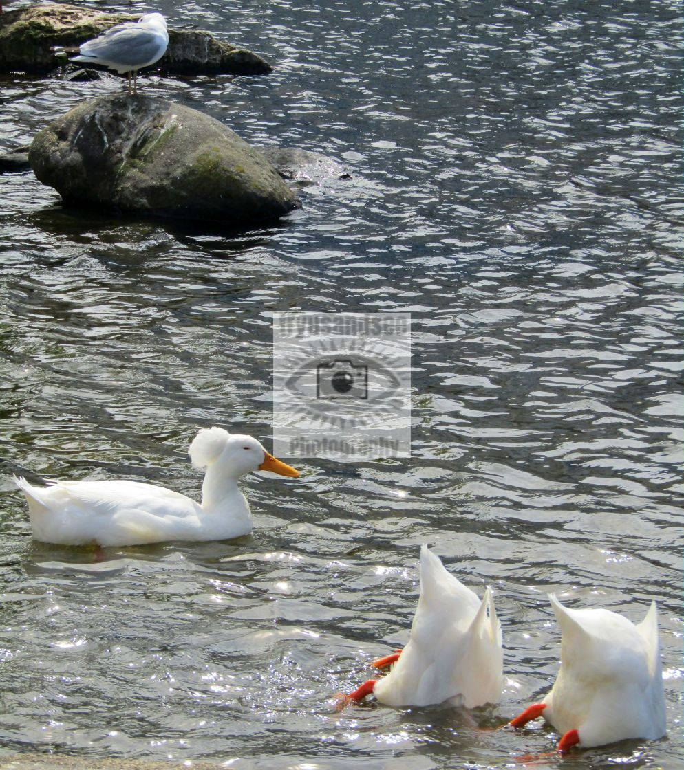 """3 up and down white crested ducks"" stock image"