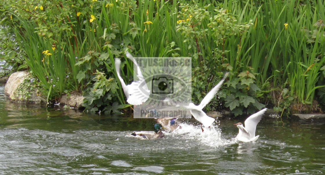 """Ducks & gulls feeding frenzy"" stock image"
