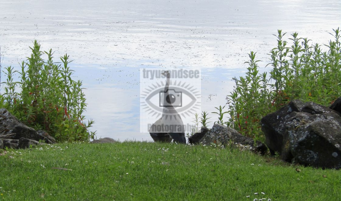 """Heron on the loch"" stock image"