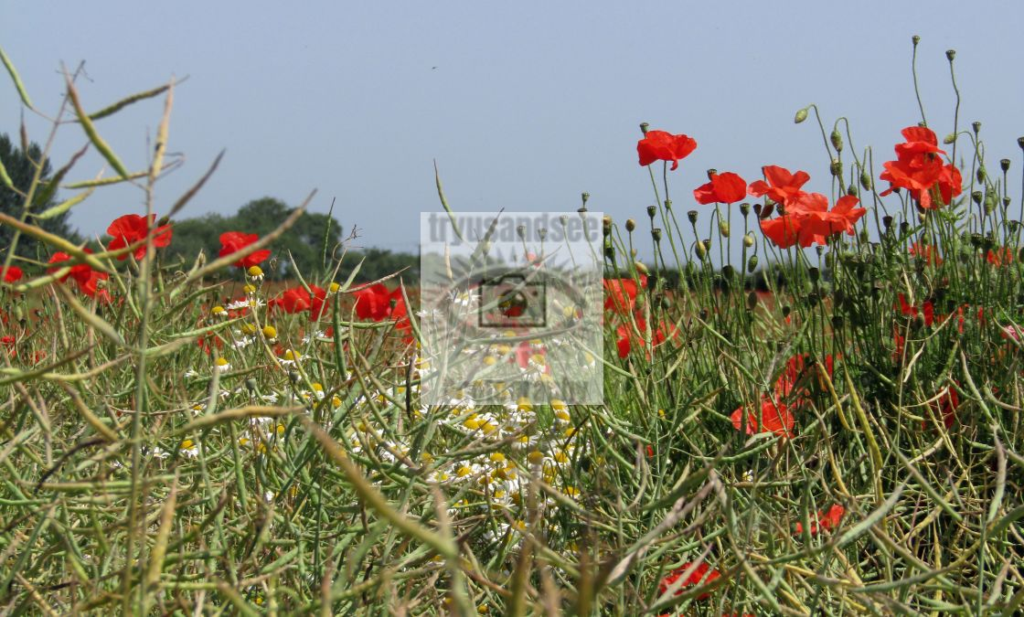"""""""red poppies and daisies in field"""" stock image"""