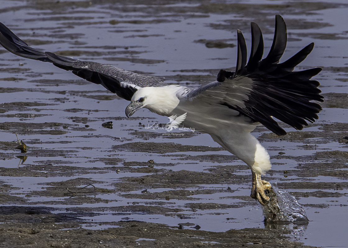 """White bellied sea eagle dive action"" stock image"