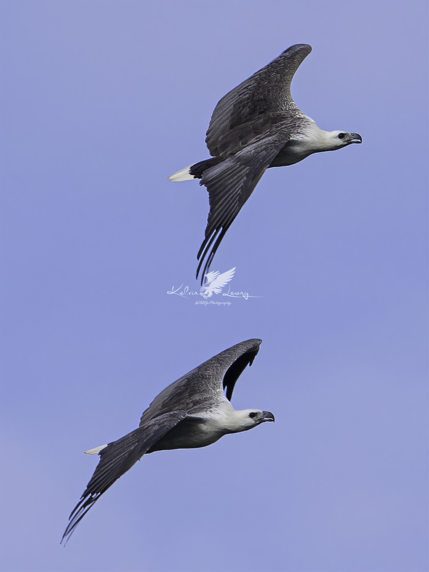 """A pair of white bellied sea eagle flying in sync"" stock image"