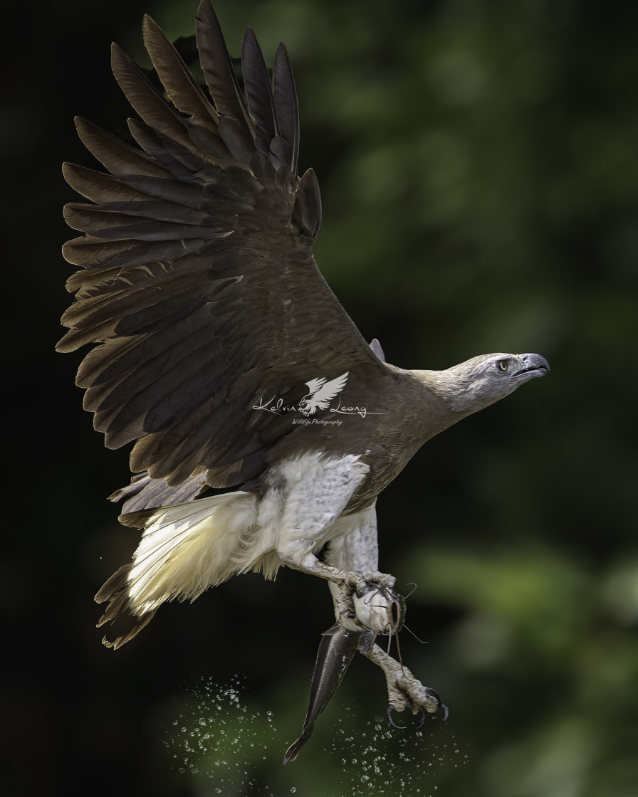 """Grey headed fish eagle caught a cat fish"" stock image"