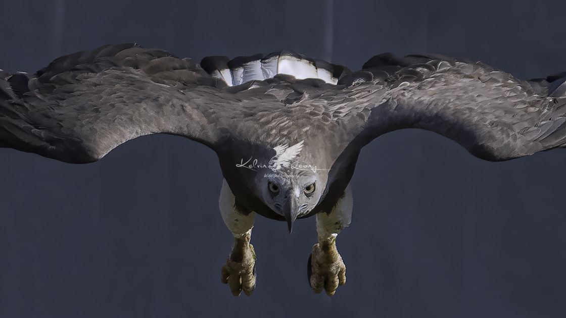 """""""Frontal shot of the grey headed fish eagle in dive action"""" stock image"""
