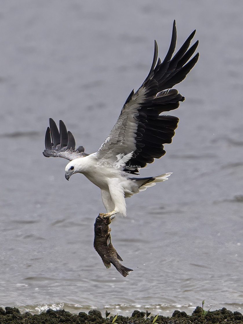 """White bellied sea eagle caught a big grouper"" stock image"