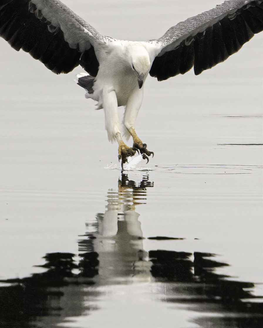 """White bellied sea eagle doing a graceful ballet on water"" stock image"