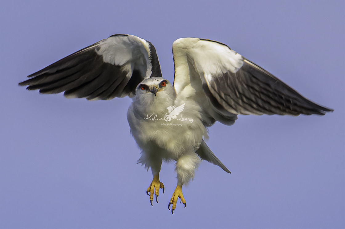 """Hovering black winged kite"" stock image"