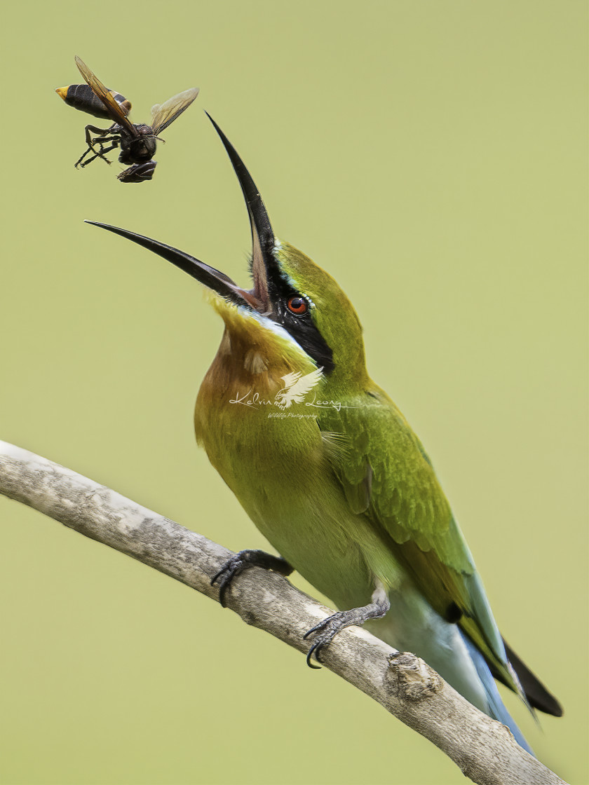 """Blue tailed bee eater tossing a wasp"" stock image"