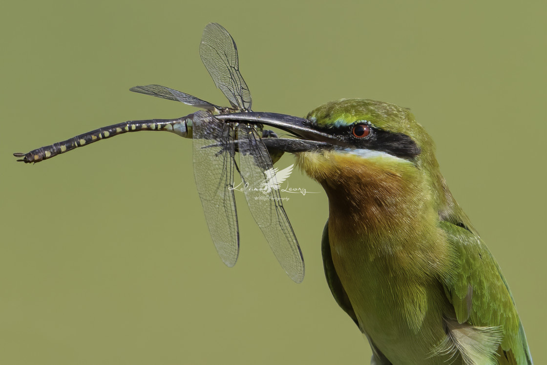 """Blue tailed bee eater with a big drangonfly in beak"" stock image"