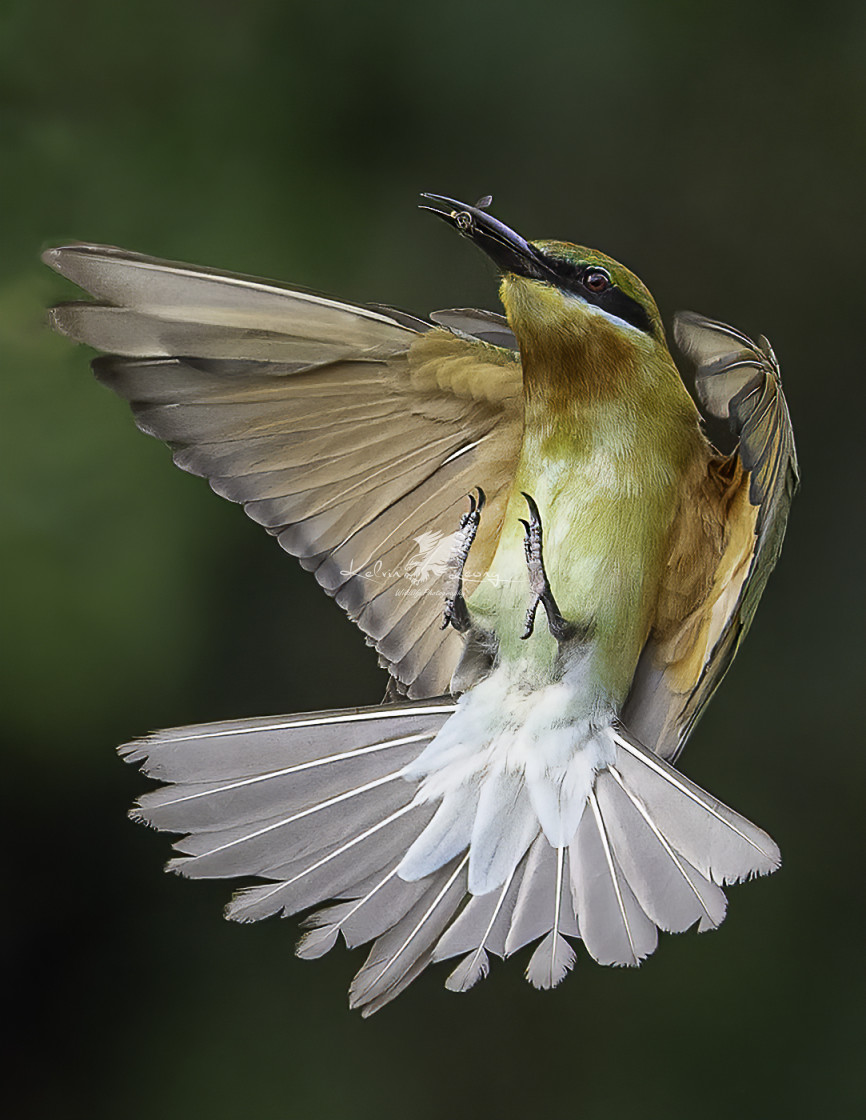 """Blue tailed bee eater caught a small insect in mid air"" stock image"