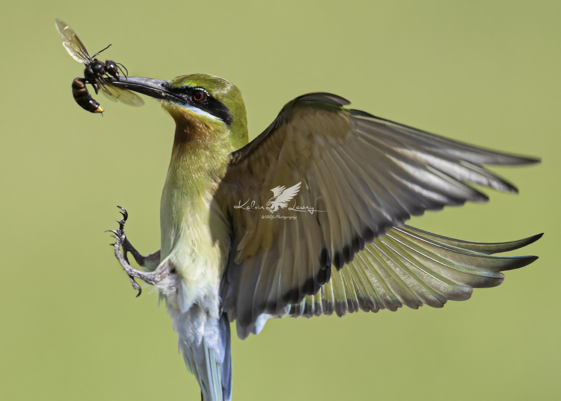 """Blue tailed bee eater spreading its wings"" stock image"