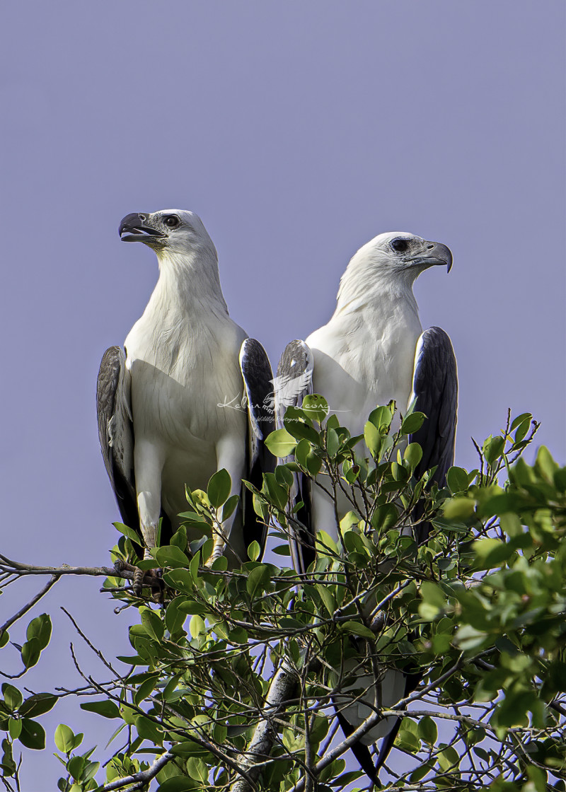 """A pair of white bellied sea eagle perching"" stock image"