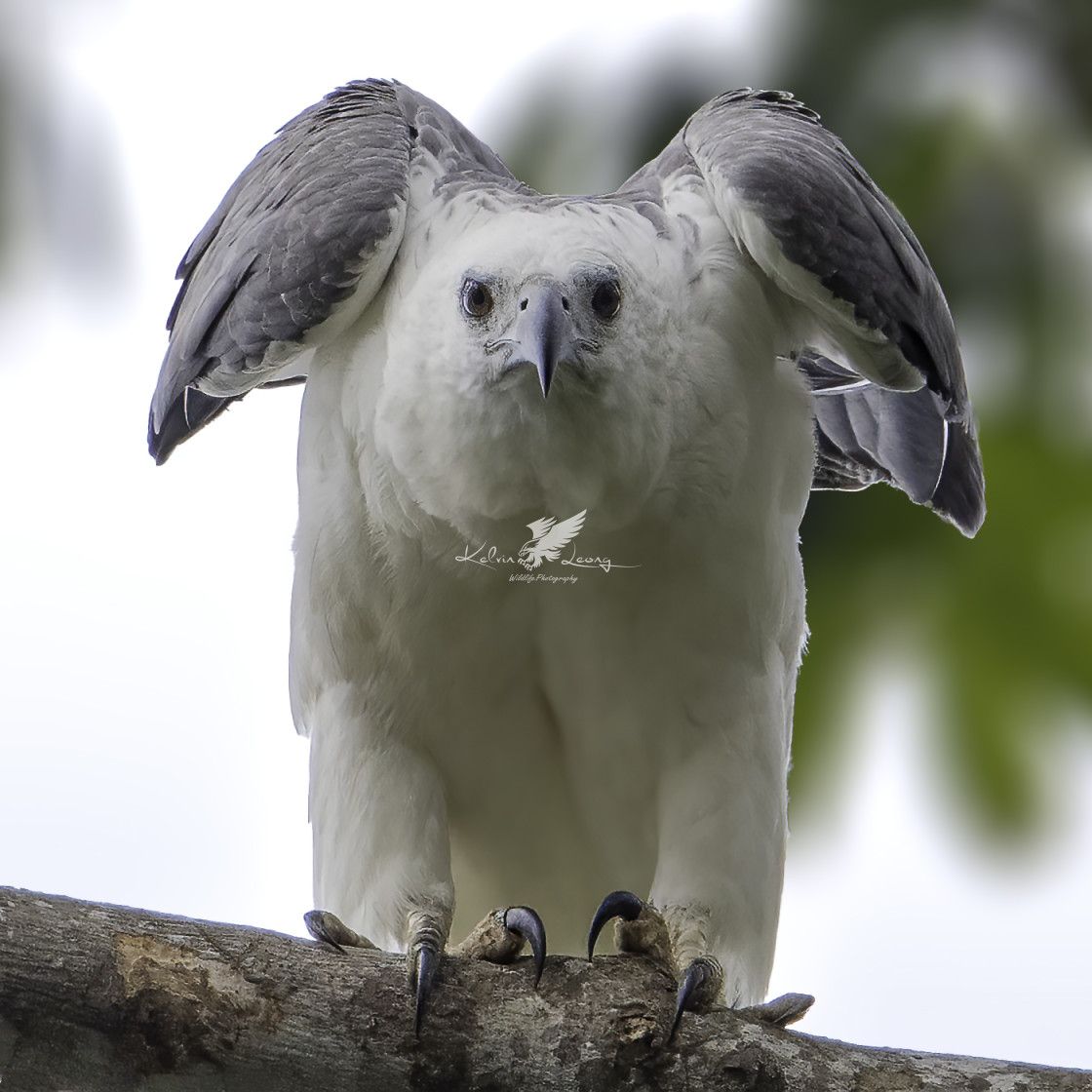 """""""White bellied sea eagle stretching its wings"""" stock image"""