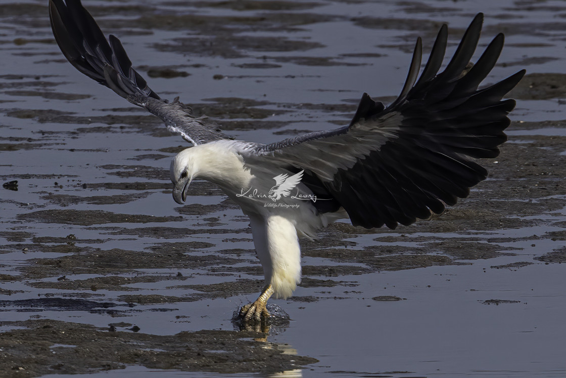 """White bellied sea eagle dive"" stock image"