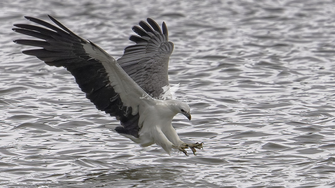 """White bellied sea eagle diving"" stock image"