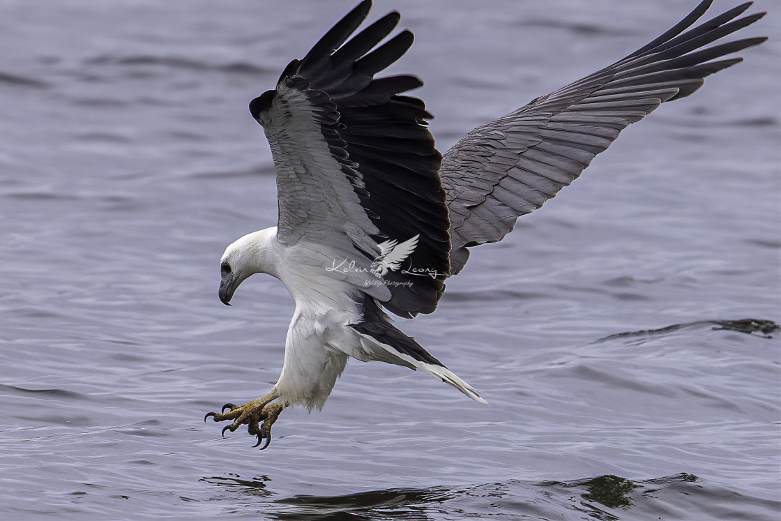 """White bellied sea eagle diving shot"" stock image"