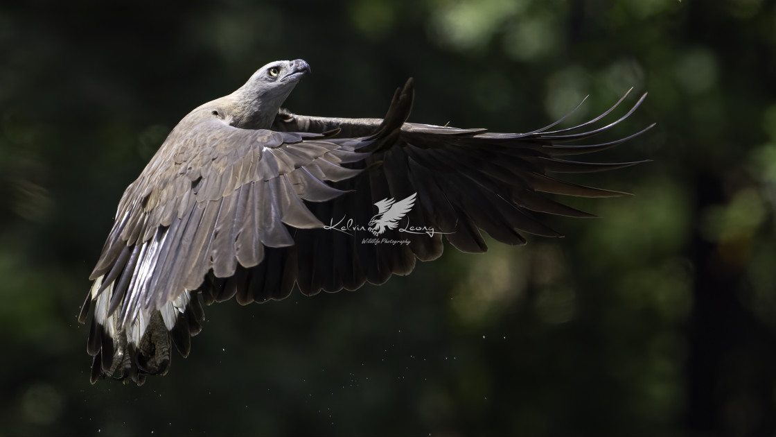 """Grey headed fish eagle in flight"" stock image"