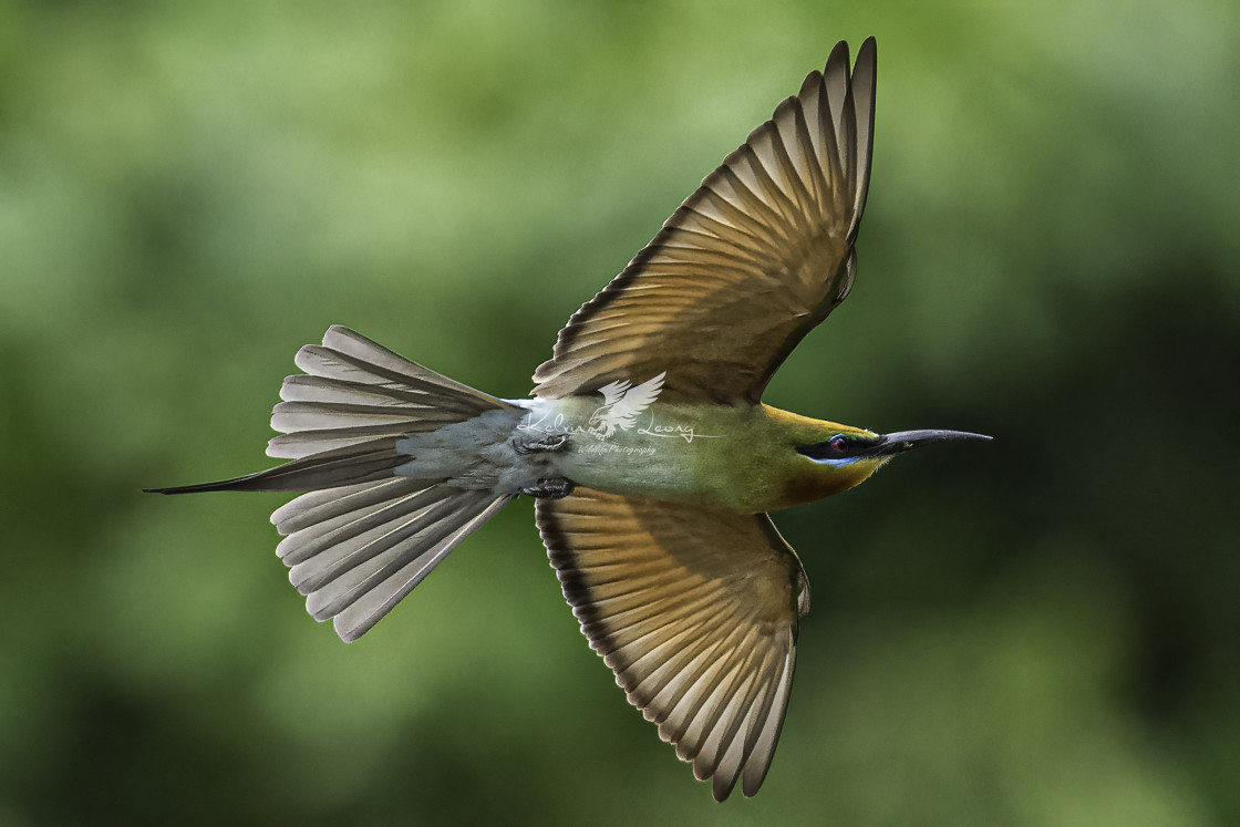 """Blue tailed bee eater in flight"" stock image"