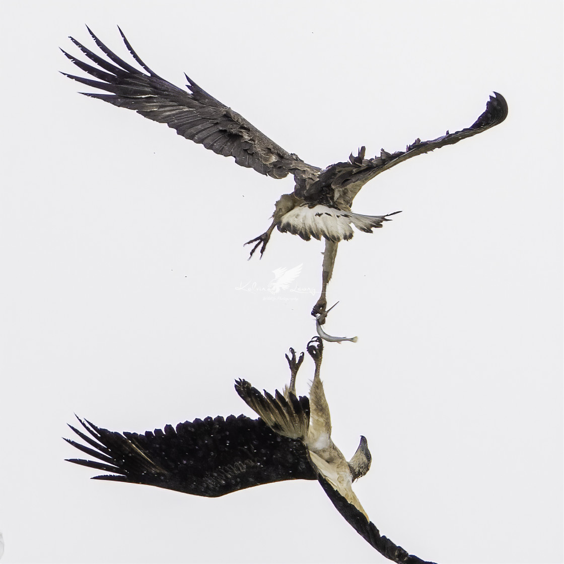 """Eagles fighting over a fish!"" stock image"