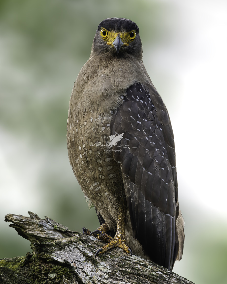 """Crested Serpent Eagle"" stock image"