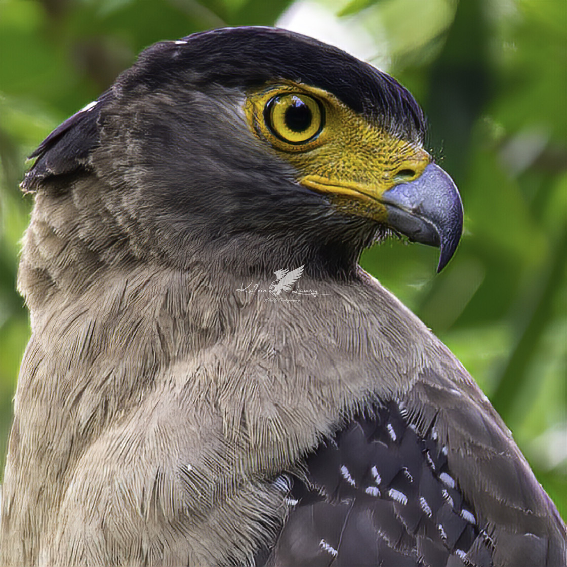 """Crested Serpent Eagle Headshot"" stock image"