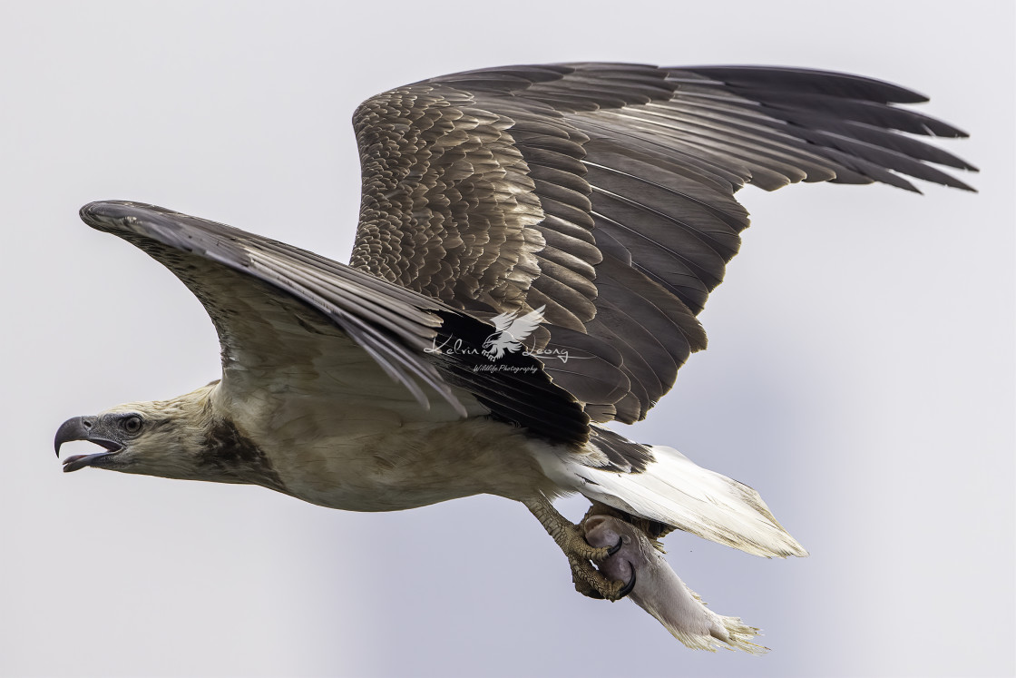"""Juvenile white bellied sea eagle caught a fish"" stock image"