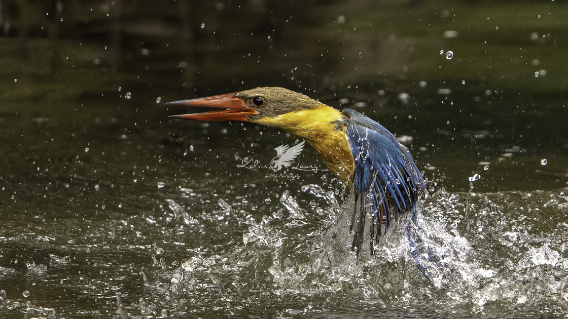 """Diving Stork billed kingfisher"" stock image"