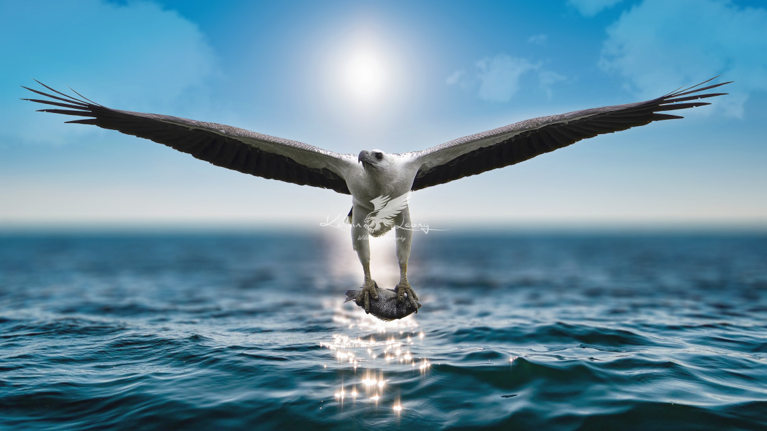 """White bellied sea eagle with a big catch"" stock image"