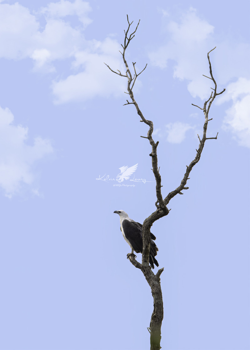 """A lonely White bellied sea eagle"" stock image"
