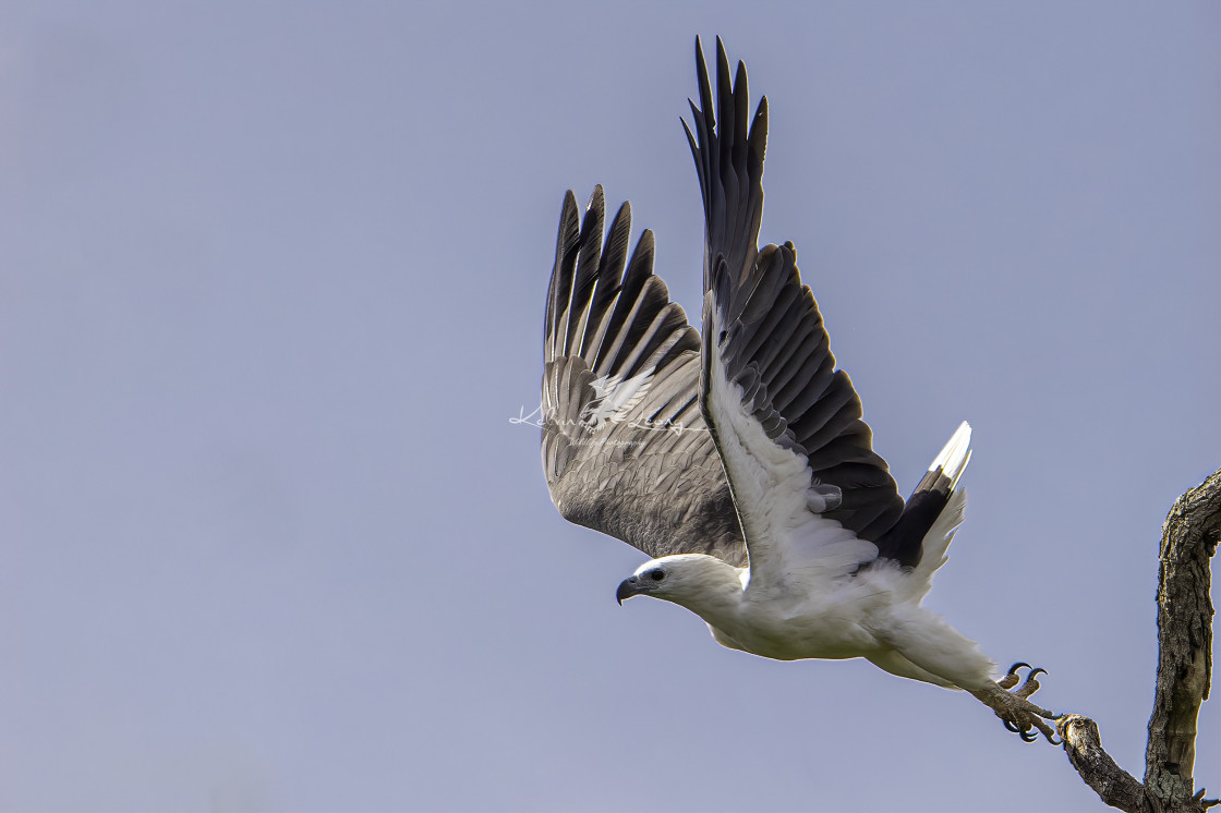 """White bellied sea eagle took off"" stock image"