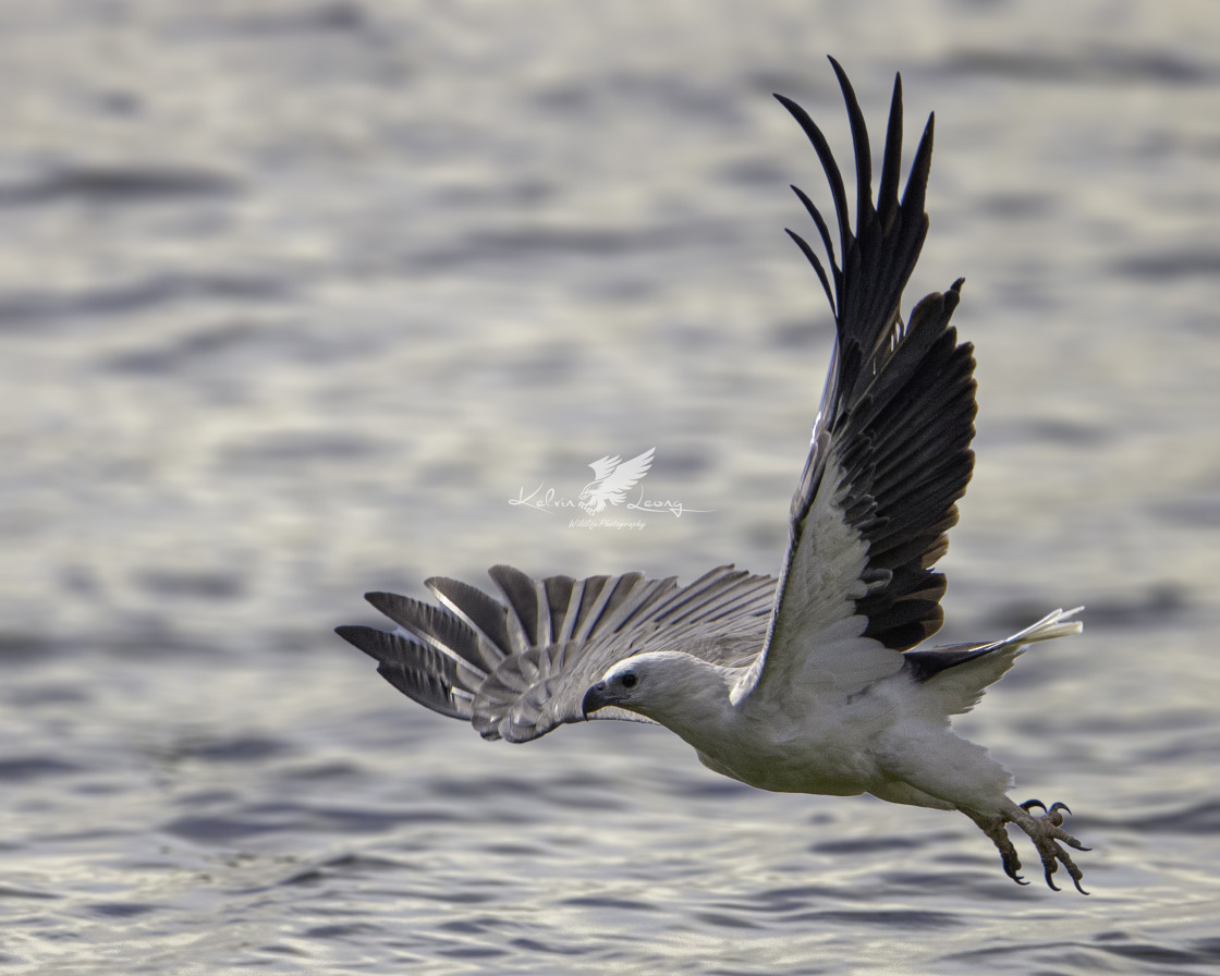"""Low flight of the white bellied sea eagle"" stock image"
