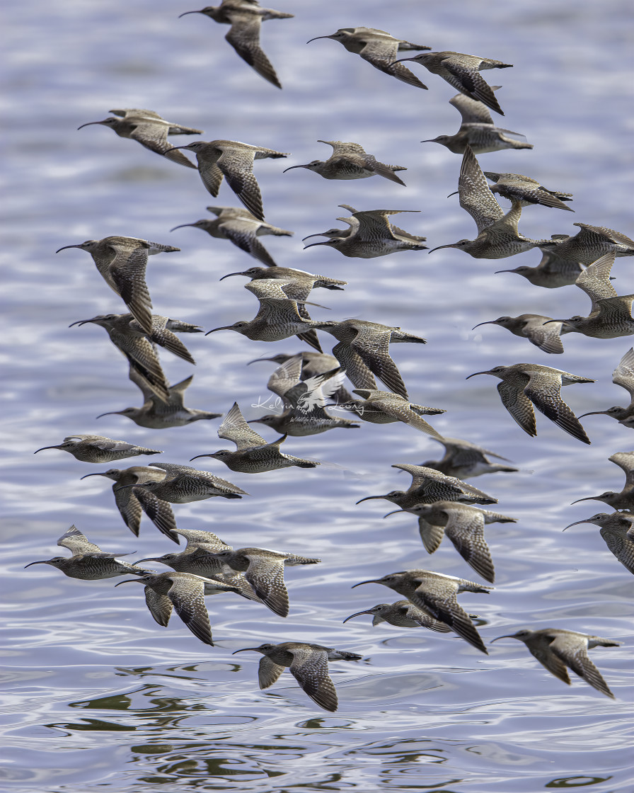 """""""How many whimbrels can you count?"""" stock image"""