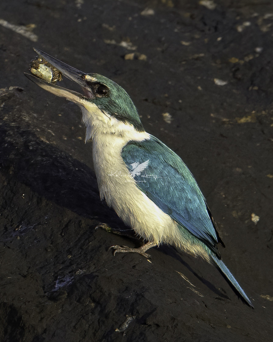 """Collared kingfisher with a small crab"" stock image"