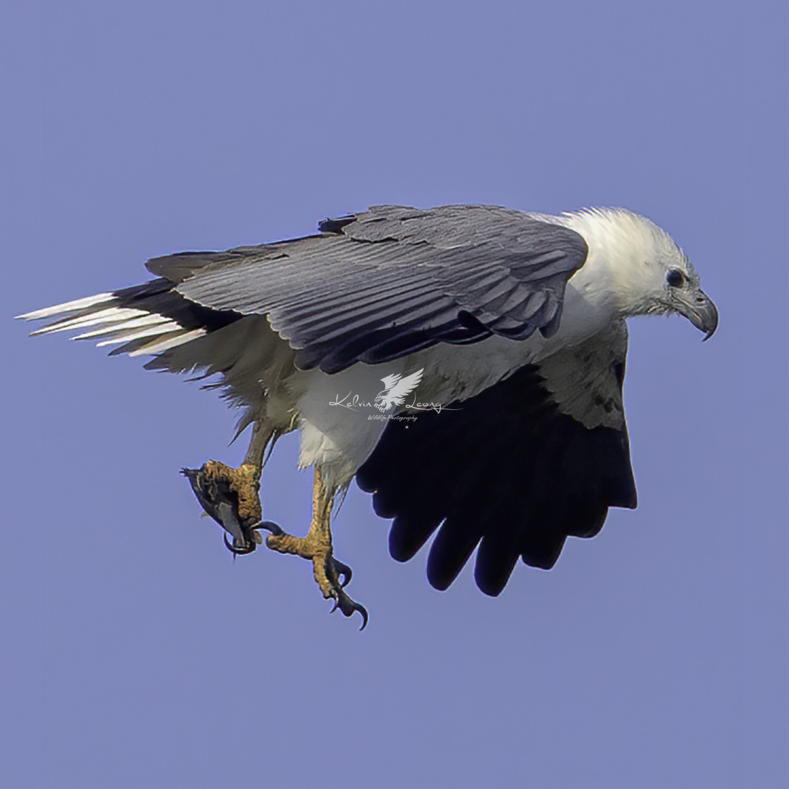 """White bellied sea eagle with a small fish"" stock image"