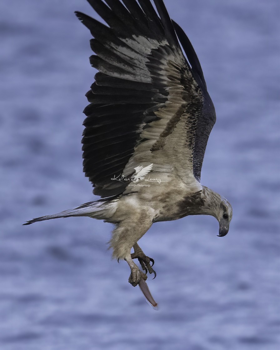 """""""Juvenile White bellied sea eagle dived early in the morning"""" stock image"""