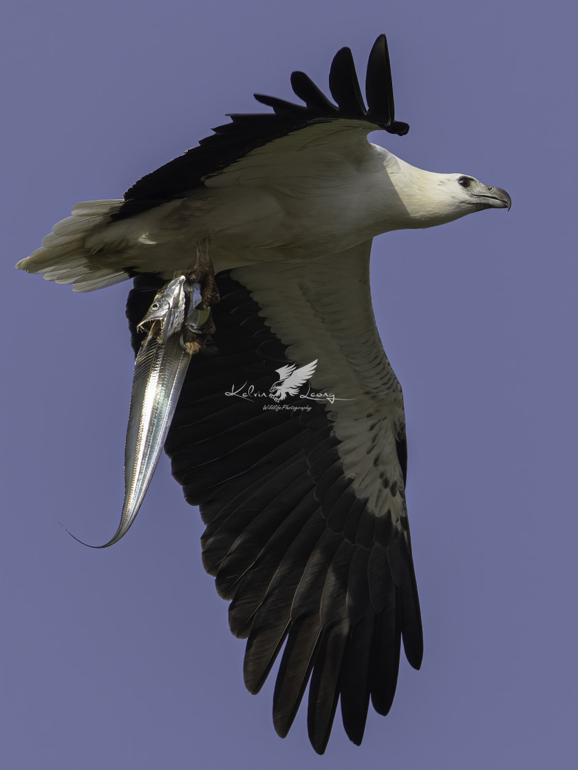 """""""White bellied sea eagle with a big catch"""" stock image"""